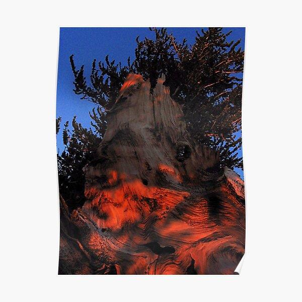 Ancient Bristlecone Pine, Eastern Sierra Poster