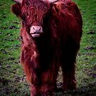 image of a young bull in cumbria farmland by therightprofile