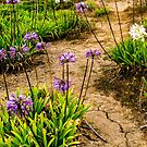 Agapanthus Purple Lilly Garden by Tina Hailey