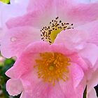 Governor Generals Roses 31 by Shulie1