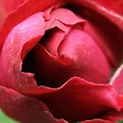 intimate rose by erisreg