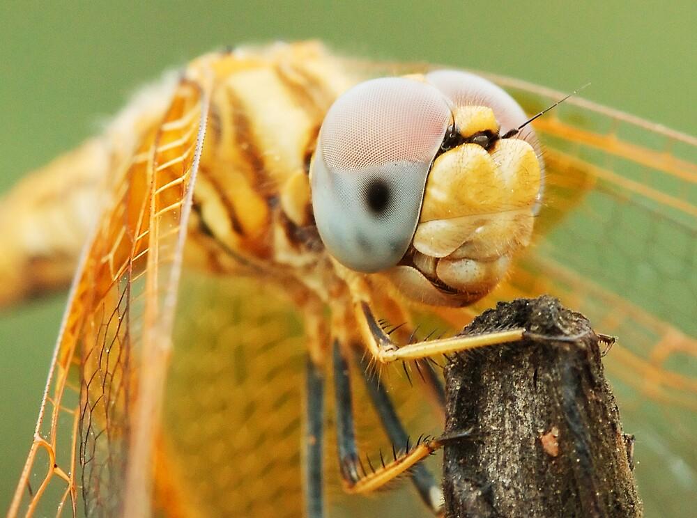 Dragonfly close-up by sedeer