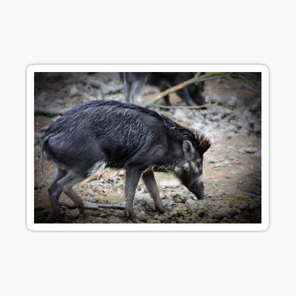 Javan warty pig Sticker