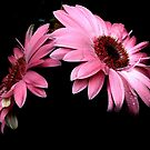 Gerbera by cieloverde