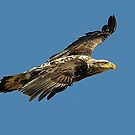 Immature Bald Eagle by Bill Miller