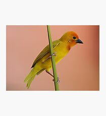 Golden Palm Weaver 1 Photographic Print