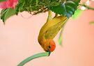 Golden Palm Weaver 2 by David Clarke