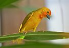 Golden Palm Weaver 6 by David Clarke