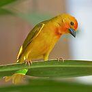 Golden Palm Weaver 6 by David Clarke