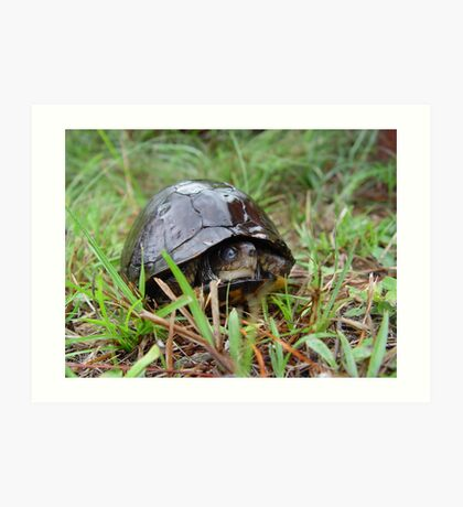 Box turtle in the rain Art Print
