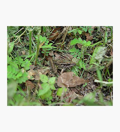 Southern Leopard Frog Photographic Print