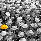 Sea of Tulips by Nancy Barrett