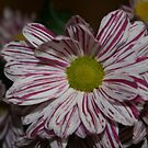 colors of the little gerbera flower by memaggie