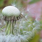 Windblown Dandelion   by Shaina Haynes
