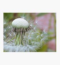Windblown Dandelion   Photographic Print
