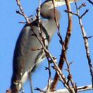 Great Blue Heron by tkrosevear