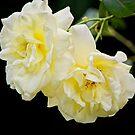 yellow roses by Sunil Bhardwaj
