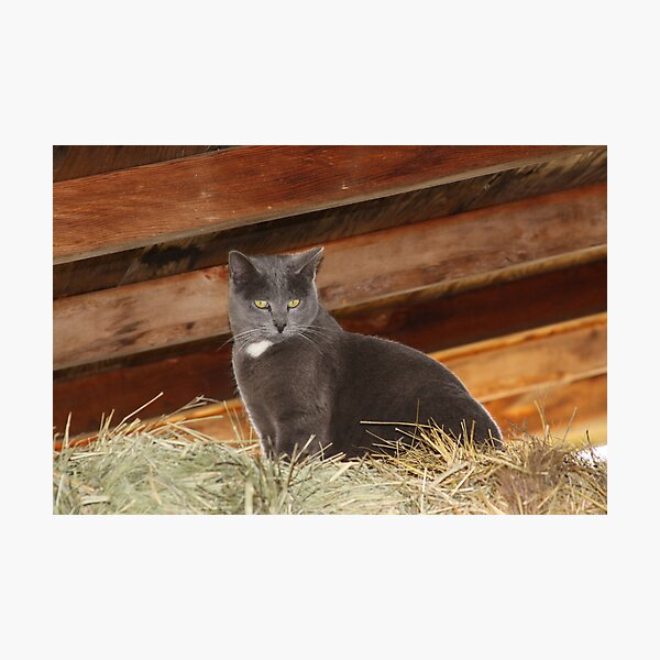 Barn cat Photographic Print