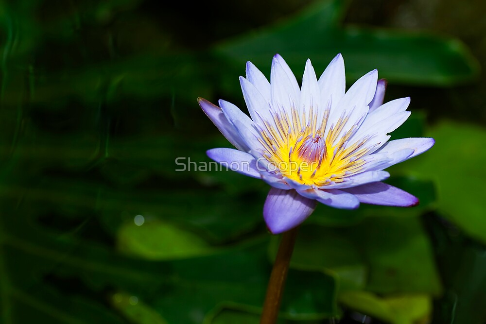 Water Lilly by Shannon Beauford