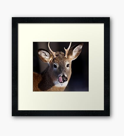 Young Whitetail Buck  Framed Print