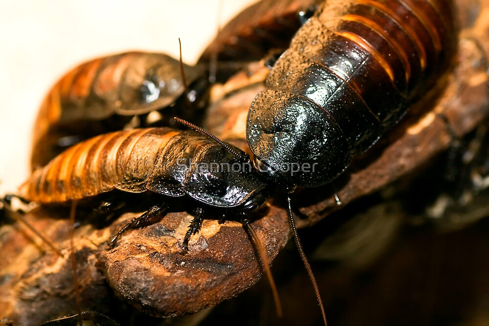 Madagascar Hissing Cockroach by Shannon Beauford