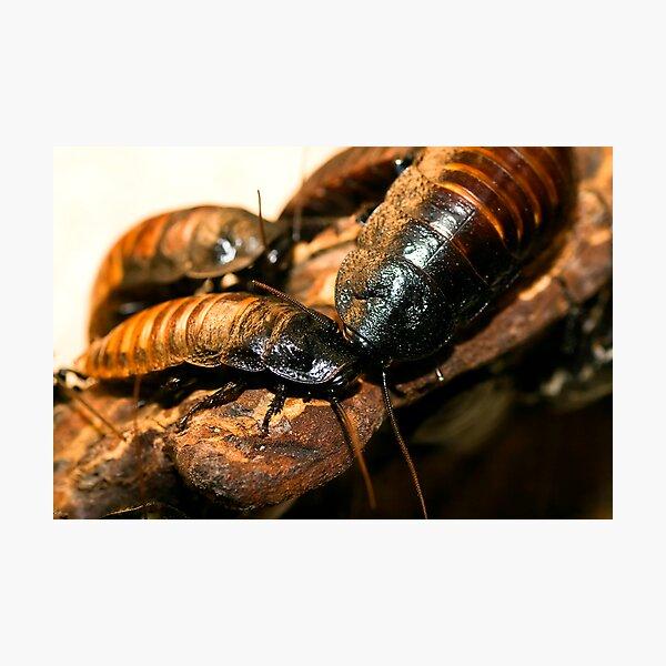 Madagascar Hissing Cockroach Photographic Print