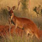 Red Kangaroo by Stuart Cooney
