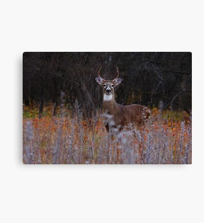 A regal stance - White-tailed Deer Canvas Print