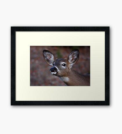 Kiss me! - White-tailed Deer Framed Print