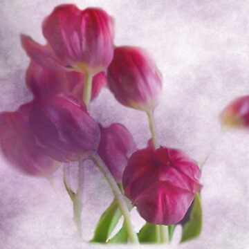 ETHEREAL TULIPS by pjm286