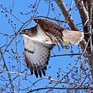 Red Tailed Hawk off he goes...... by lloydsjourney