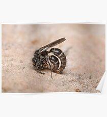 Mating Wasps Poster