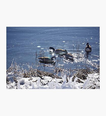 """Winter geese with a """"sparkle"""" ! Photographic Print"""