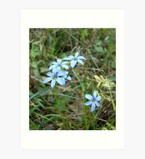 Blue-eyed Grass Art Print