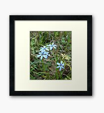 Blue-eyed Grass Framed Print