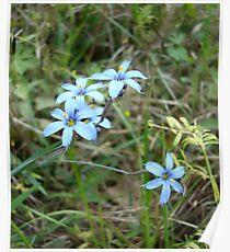 Blue-eyed Grass Poster