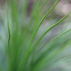 Lomandra lighthearted by Susie Walker