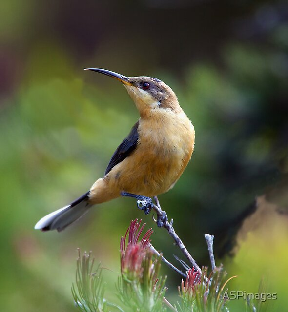 Honeyeater by ASPimages