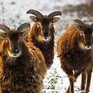Sheep by Geoff Carpenter