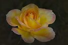Yellow, Pink Tipped Rose by Elaine Teague