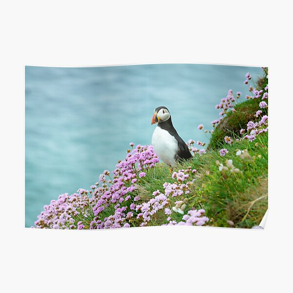 Puffin in Sea Pinks, Saltee Islands, County Wexford, Ireland Poster