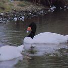 Black-Necked Swans 2 by dougie1