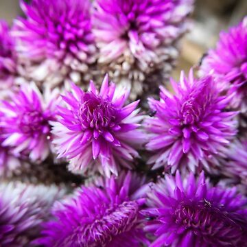 Ironweed by Enagel