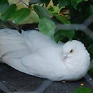 Little White Dove... by Marjorie Wallace