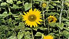 Sunflowers by John Schneider