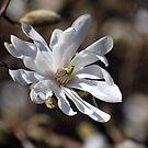 Star Magnolia by Jo Nijenhuis