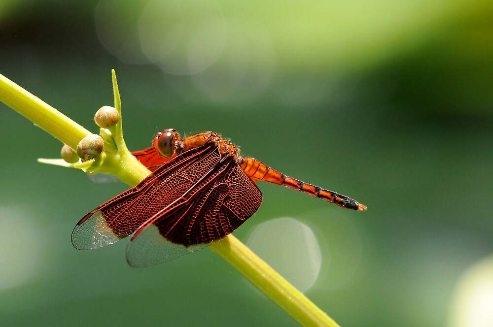 red dragonfly II by mc27
