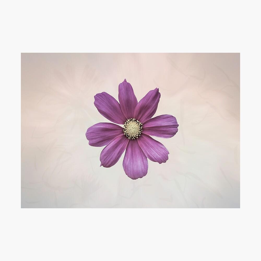 Purple Cosmos Flower Photographic Print