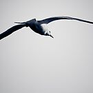 Seagull in Flight by Rachel Blumenthal