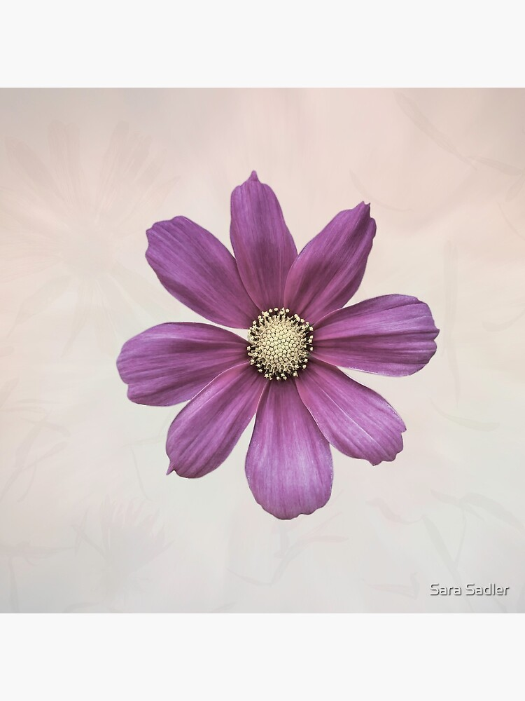 Purple Cosmos Flower by sadler2121